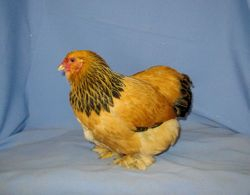 Buff Brahma bantam pullet (Champion Bantam) 2007 CO. State Fair 8-26-2007