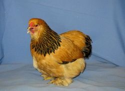 Buff Brahma pullet 8-26-07 Champion Bantam @ 07 CO. State Fair
