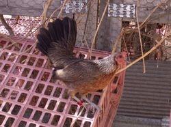 Golden Duckwing AGB Hen