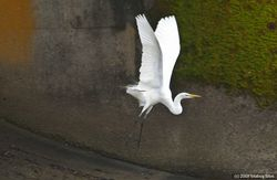 Great White Egret - Poetry in Motion