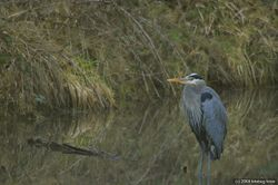 Heron in Alton Baker pond