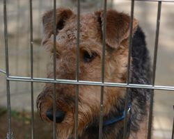 Airedale Under Control