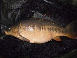 First carp Mirror 13lb Alex