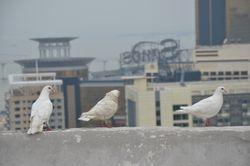 tri bela goluba nad Makaom