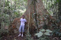 dzinovsko drvece filipinskih dzungli
