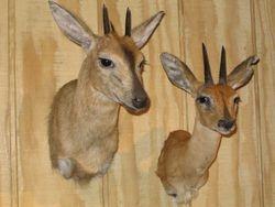 Diuker and Steenbok