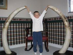 Elephant tusks. 75 pounders