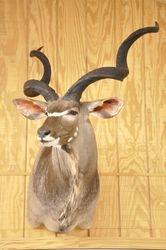 "51 ""Kudu"