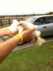 White Brahma Chicks Again