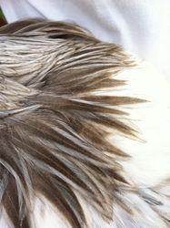 Blue light Columbian rooster neck