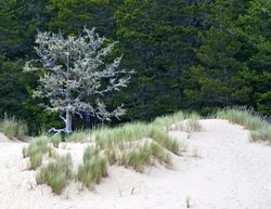 Tree on the Dunes