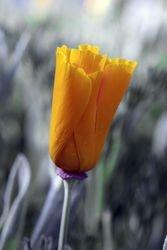 Caligornia Poppy