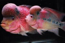 breeding pair