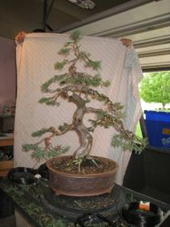 San Jose Juniper after styling by Michael Persiano