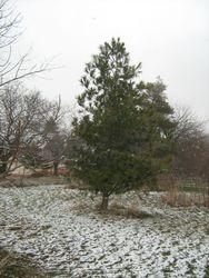 bearing korean pine on PEI