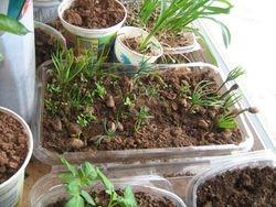 korean pine seedlings (and a few blackberries)