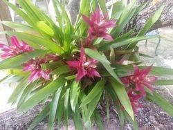 Bromeliads in a Mango Tree