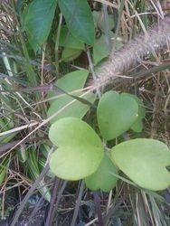 Sweetheart Succulent