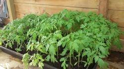Voorkweek tomaat 17-4