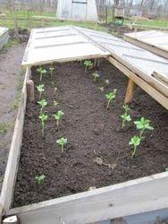 10-3 tuinbonen in koude bak