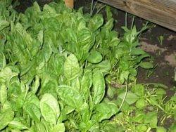 12-5 spinazie