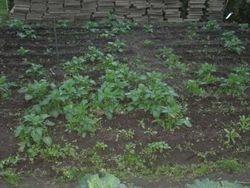 11-5 de aardappelen