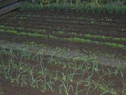 11-5 Bol en wortelgewassen