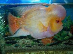 FlowerFish KGM