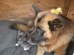 Tilda & duckling in Max's den