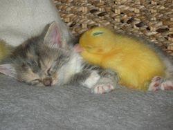 Tilda, the duck mother