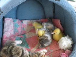 Big Hug for the duckling