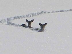 Struggling deer