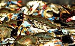 Blue Crab(s)