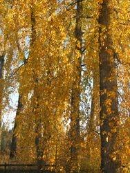 Our namesake trees.
