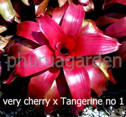 very cherry x Tangerine