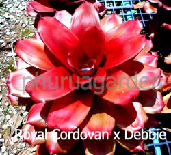 Royal Cordovan x Debbie