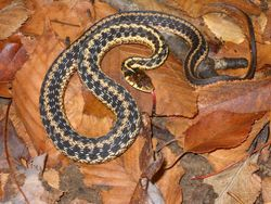 Gardner Snake