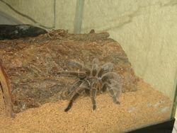 Dorothy, the Tarantula