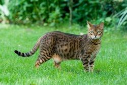 Leopardstare