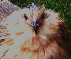 Young Blue Quail pullet face