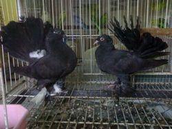 indian fantail black