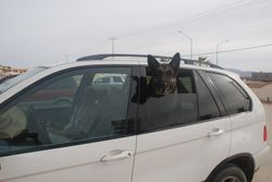 Tessie w head out of car window