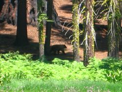 Bear in Crescent Meadow - Sequoia National Park