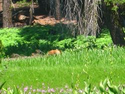 Bear in Crescent Meadow - Sequoia Park