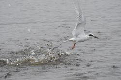More diving terns