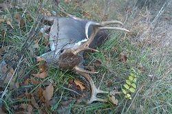 Hillbilly Huntin's buck