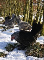 Pullets in the snow