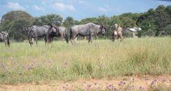 wilderbeasts