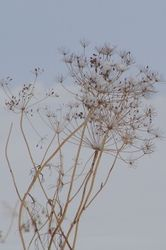 Dill, dusted with snow.