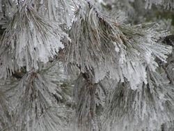 Pine coated in hoar frost.